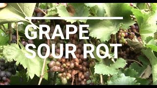 High Tunnel Grapes Short -- Sour Rot