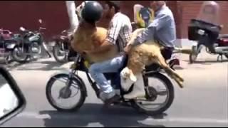 Cow On Motorbike