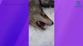 В Пензенской области завершается сезон охоты на волков