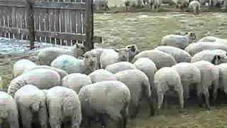 Feeding Lambs And Ewes Winter 2011