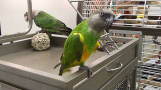 Kili Senegal Parrot - New Cage Area Shared With Truman