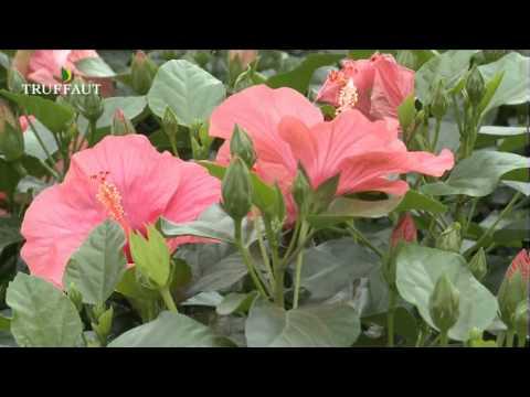 comment soigner un hibiscus en pot la r ponse est sur. Black Bedroom Furniture Sets. Home Design Ideas