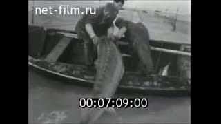 Ловля калуги в россии