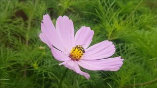 Bee visiting a Cosmos flower :)