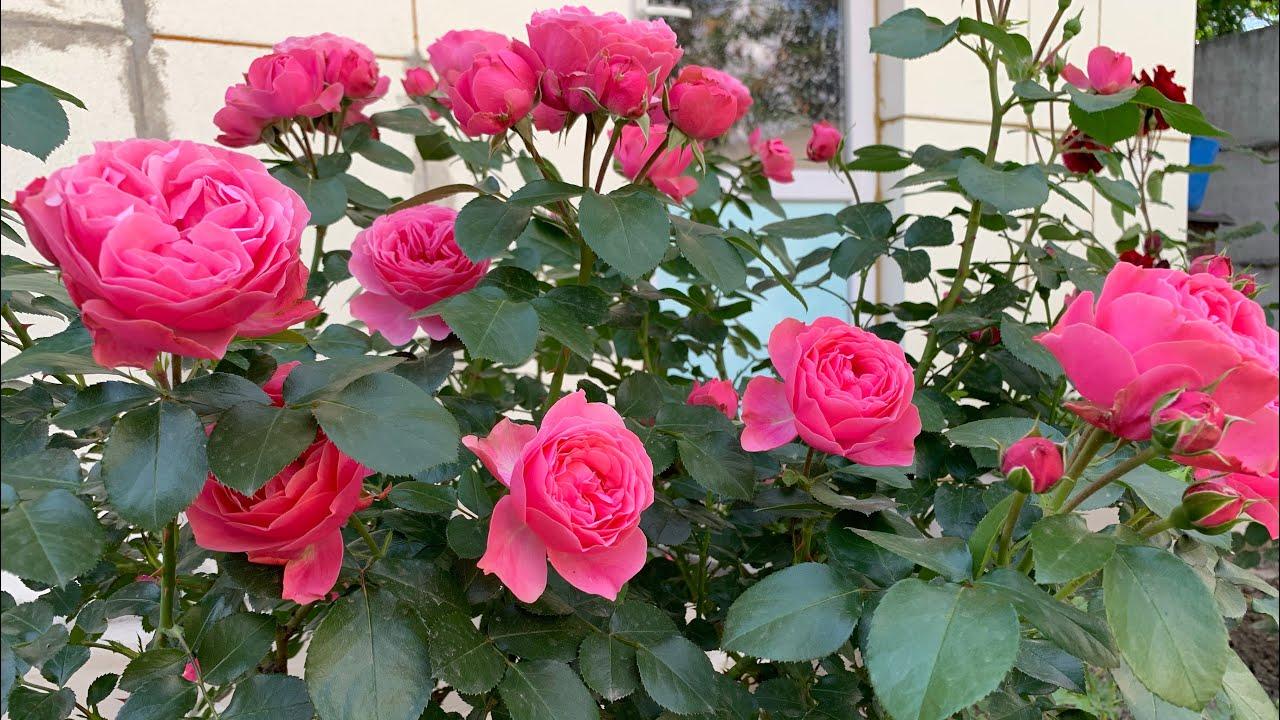 Роза «Леонардо да Винчи» (Rosе «Leonardo da Vinci») Meilland г. Киев  июнь  2021 г.
