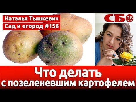 Что делать с позеленевшим картофелем