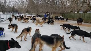 100 German Shepherds Playing Together