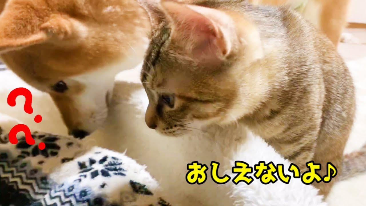 子猫のひみつの布団をどうしても知りたい柴犬 Shiba Inu wants to mimic how a kitten sleeps