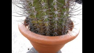 How to save a Cactus from ROT