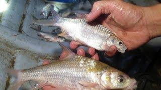 Kéo lưới lên gỡ cá thôi. Khai trương con cá cóc trúng mánh bầy mè vinh | Săn bắt SÓC TRĂNG |