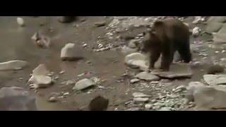 Пума против медвежонка