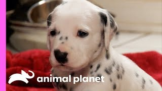 Fireman Becomes New Owner Of A Lovable Dalmatian | Too Cute!