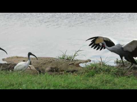 Modig fugl ypper seg med krokodille