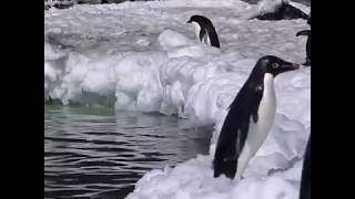 What a jump!!!! Penguin's super cute video