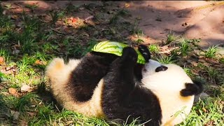 Panda cubbie gets watermelon- Yu Er Bao (09/20)