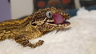 Two gargoyle geckos and their baby. Exotic pets