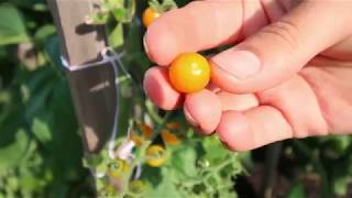 Harvesting Some Of The Most Rare And Unique Heirloom Tomatoes