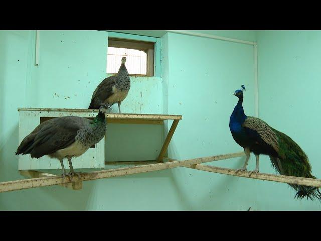 В зоопарке подрастает потомство павлинов