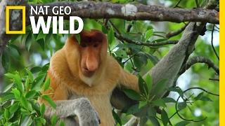 Proboscis Monkeys Jump Around | Paradise Islands