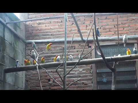 Video Ternak Burung Lovebird Agar Cepat Bertelur