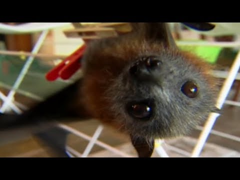 Download Flying Fox Fairy Tale 🦇| Bat Documentary | Natural History Channel HD Mp4 3GP Video and MP3