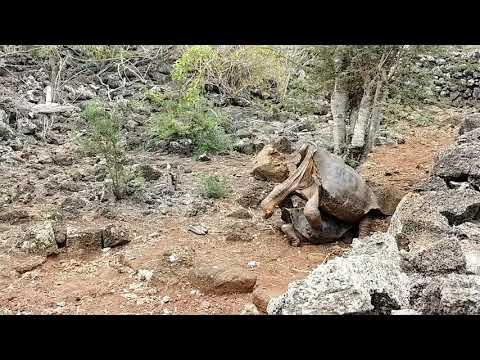 Tortoise mating in Galapagos, 갈라파고스 거북이 짝짓기