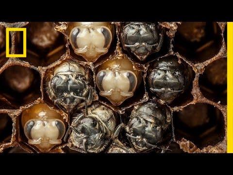 勁爆!一分鐘帶你一探蜜蜂從蠕動蟲卵長大成蟲過程!
