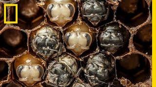 Timelapse về 21 ngày đầu đời của ong mật
