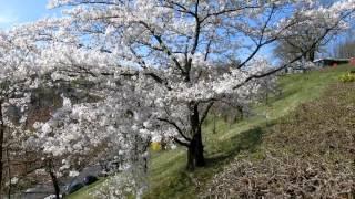 スイス発 2017ベルンばら公園ソメイヨシノ桜3月29日【スイス情報.com】