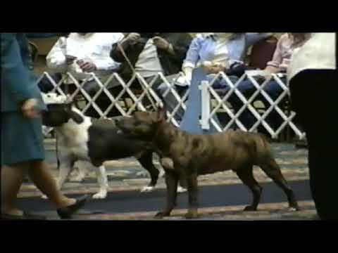 CH CanAm's Billy the Kid winning Open Dog class at 1999 STCA National Specialty