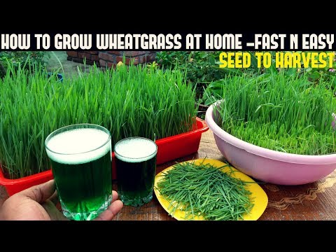 How To Grow Wheatgrass At Home | Full Information