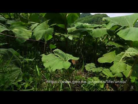 シロオビヒメヒカゲの飛翔 Coenonympha hero