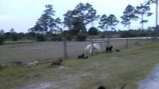 Dachshunds and Mini Horse racing