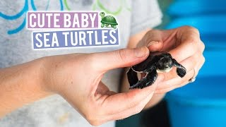 Cleaning BABY SEA TURTLES! In The MALDIVES