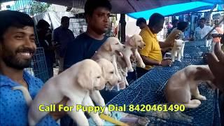 Labrador Dog Price In Kolkata Market Free Online Videos Best