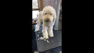 What Goldendoodle owners need to know about Puppy's haircut and grooming
