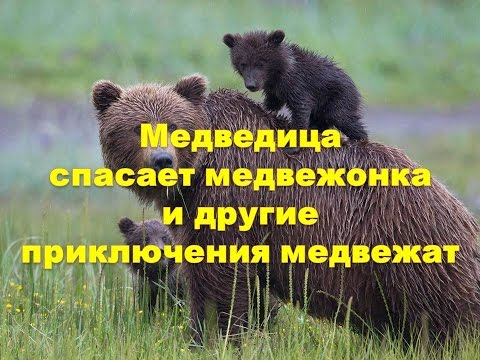Медведица спасает медвежонка и другие приключения медвежат.