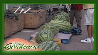Growing Giant Produce | Volunteer Gardener
