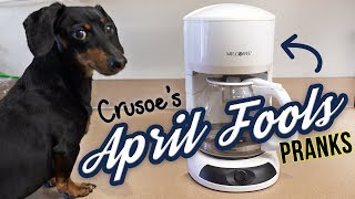 Ep 3. Funny Dachshund Crusoe is the APRIL FOOLS DOG!