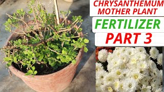 Chrysanthemum Mother Plant Fertilizer And Watering, Part 3