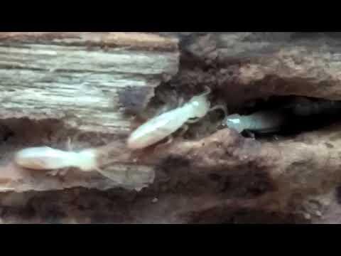 Termites Hidden in Old Tree in Waretown, NJ
