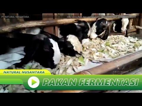 Video Belajar Cara Berternak Kambing - Usaha Ternak