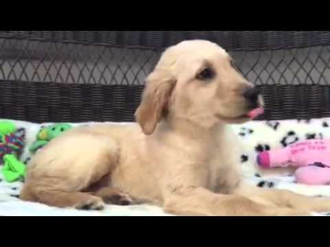 Pretty & Playful, Female Golden Retriever Puppy!