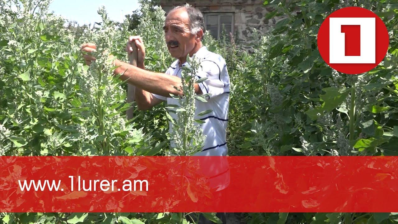 Հայաստանում քինոա է աճեցվում
