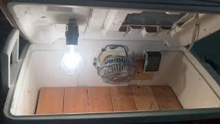 DIY Cheap Homemade Cooler Chicken Incubator