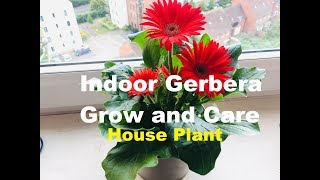 How to Grow and Care for Indoor Gerbera Plant   House plant care   Gerbera daisy - Know This Today
