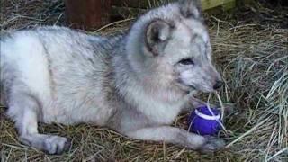 Arctic fox Sapphire's tummy rubs