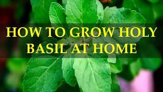HOW TO GROW HOLY BASIL AT HOME
