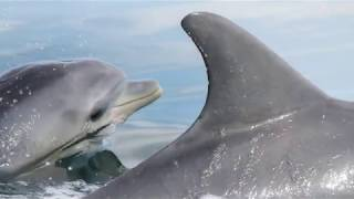Newswise:Video Embedded dolphins-learn-in-similar-ways-to-great-apes