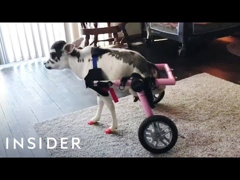 Disabled Mini Cow Gets a Wheelchair